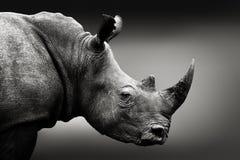 黑白犀牛画象 库存图片