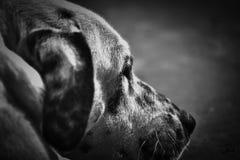 黑白狗的宠物 库存图片