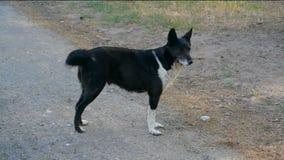 黑白狗站立并且摇摆它的在慢动作的尾巴 影视素材