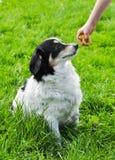 黑白狗请求食物 免版税库存图片