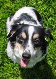 黑白狗请求食物 免版税库存照片