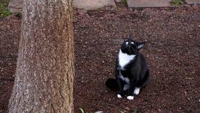 黑白猫狩猎在树下在庭院里 免版税库存图片