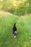 黑白猫走沿一条道路的在一个绿色草甸,背面图 免版税图库摄影