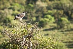 黑白老鹰在它的在Nakuru湖附近的自然生态环境我 免版税库存图片