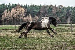黑白花的母马疾驰的牧群  免版税库存照片