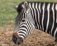 黑白镶边斑马侧视图,被拍摄在口岸Lympne徒步旅行队公园,阿什富德,肯特英国 库存图片