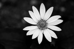 黑白雏菊 免版税图库摄影