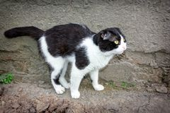 黑白颜色一只幼小猫  图库摄影