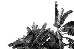 黑白香蕉叶子,绿色热带叶子纹理隔绝在文件白色背景与裁减路线的 免版税图库摄影