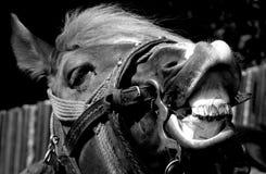 黑白马的画象 库存照片