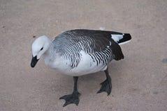 黑白鸭子走 库存照片