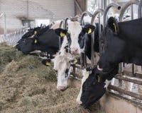 黑白黑白花牛头在的槽枥威胁哺养 图库摄影