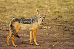 黑的被返回的狐狼 免版税图库摄影