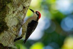 黑的cheeked啄木鸟-从墨西哥东南南部的Melanerpes pucherani常驻育种的鸟向厄瓜多尔西部 免版税图库摄影