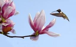 黑的chinned蜂鸟和北美鹅掌楸 免版税库存图片