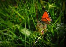 黑盆的红色薄脆饼干蝴蝶坐绿草 库存照片