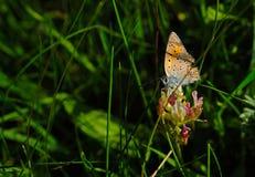 黑盆的红色薄脆饼干蝴蝶坐绿草 免版税图库摄影