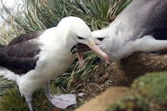 黑眉毛的信天翁-福克兰群岛 免版税库存照片