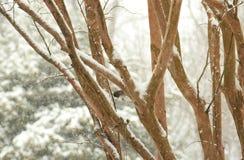 黑眼睛的碛在一个树枝栖息在多雪的冬天蒂姆 库存图片