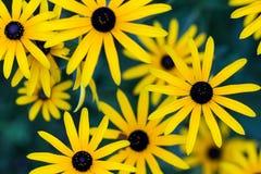 黑眼睛的苏珊在夏天庭院末期的黄金菊fulgida e 库存照片
