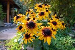 黑眼睛的苏珊开花的灌木 免版税库存照片