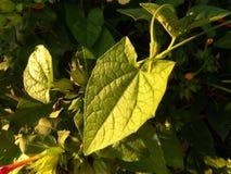 黑眼睛的苏珊藤绿色叶子 免版税库存图片