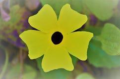 黑眼睛的苏珊藤藤本植物画象 免版税库存图片