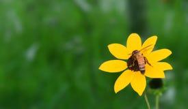 黑眼睛的苏珊,与蜂的向日葵 免版税库存照片