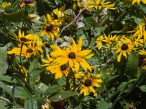 黑眼睛的苏珊,黄金菊hirta,黄色花特写镜头,选择聚焦,浅DOF 库存图片