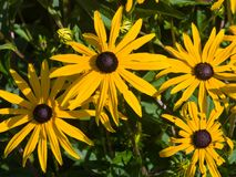 黑眼睛的苏珊,黄金菊hirta,黄色花特写镜头,选择聚焦,浅DOF 免版税图库摄影