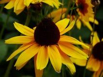 黑眼睛的苏珊-黄金菊hirta 图库摄影