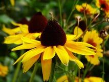 黑眼睛的苏珊-黄金菊hirta 免版税库存照片