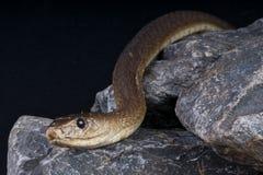 黑眼镜蛇 免版税库存图片