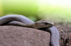 黑眼镜蛇Dendroaspis polylepis是极端毒蛇 免版税库存图片
