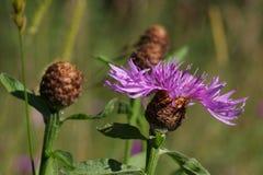 黑矢车菊属花或矢车菊在夏天 库存图片