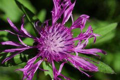 黑矢车菊属花或矢车菊在夏天 库存照片