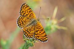黑矢车菊属贝母,Melitaea phoebe,授粉的蝴蝶休息和 免版税库存图片