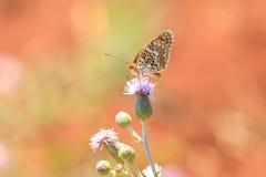 黑矢车菊属贝母,Melitaea phoebe,授粉的蝴蝶休息和 库存照片
