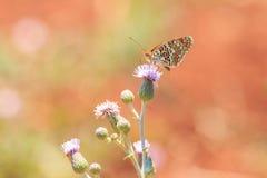 黑矢车菊属贝母,Melitaea phoebe,授粉的蝴蝶休息和 库存图片