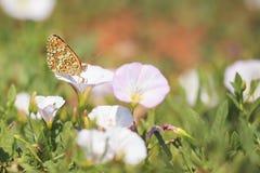 黑矢车菊属贝母,Melitaea phoebe,授粉的蝴蝶休息和 图库摄影