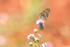 黑矢车菊属贝母,Melitaea phoebe,授粉的蝴蝶休息和 免版税图库摄影