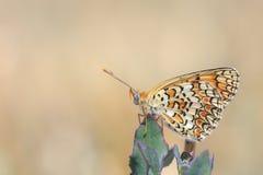 黑矢车菊属贝母,Melitaea phoebe,授粉的蝴蝶休息和 免版税库存照片