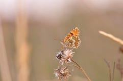 黑矢车菊属贝母Melitaea phoebe 免版税库存图片