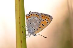 黑矢车菊属贝母Melitaea phoebe 库存图片
