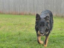 黑纯净的品种德语打球的Shepard在她的后院 免版税库存图片