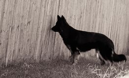黑纯净的品种德语看通过木篱芭的Shepard 图库摄影