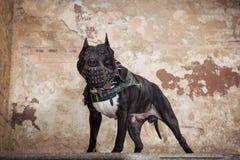 黑美洲叭喇或staphorshire狗在停留在被剥皮的墙壁的背景的枪口 库存图片