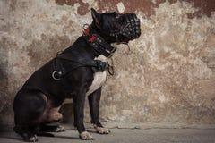 黑美洲叭喇或staphorshire狗在枪口坐被剥皮的墙壁的背景 免版税库存图片