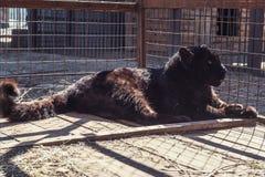 黑美洲狮的画象 库存照片