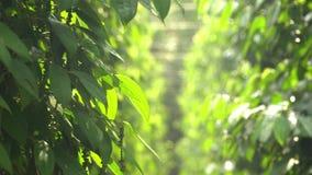 黑胡椒的种植园 黑胡椒在地面上增长 黑胡椒的种植园在亚洲 更多种植园  影视素材